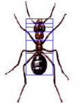 Golden ratio in body of an ant