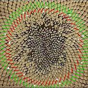 Fibonacci number spirals in a sunflower seed pod